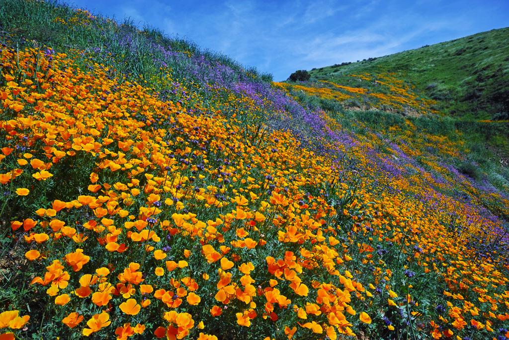 Wildflowers Anza Borrego Desert Park