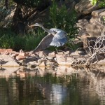 Heron with Stick