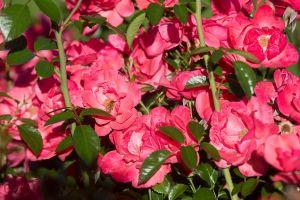 roosevelt-park-rose-garden-web-22.jpg