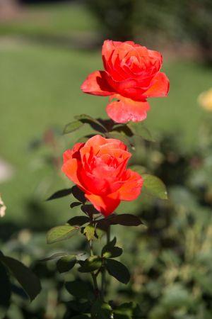 roosevelt-park-rose-garden-web-30.jpg