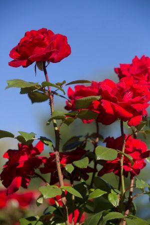 roosevelt-park-rose-garden-web-33.jpg