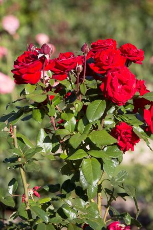 roosevelt-park-rose-garden-web-35.jpg